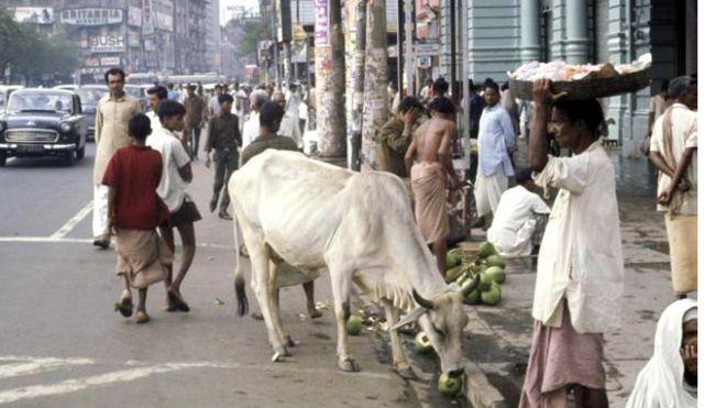 Umat Hindu di India melihat lembu sebagai hewan suci.